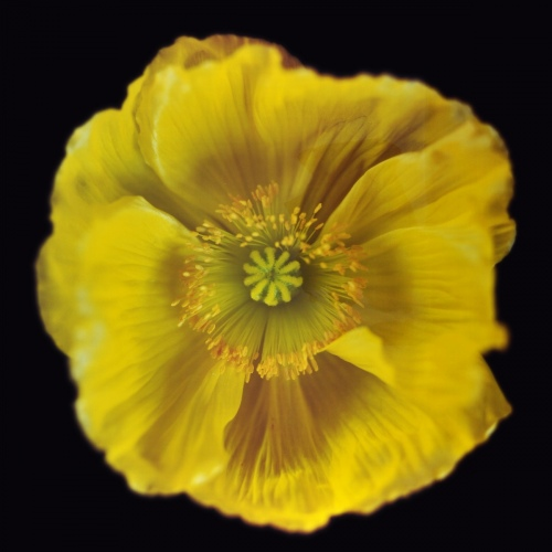 Rob and Nick Carter - RN1179, Icelandic Poppy, Yellow, 2018 · © Copyright 2019